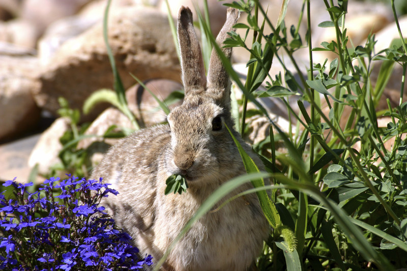 Bambi and Thumper; Cute as can be or perpetual garden pests. Try Bobbex Repellent to keep both at bay. (PRNewsfoto/Bobbex Inc.)