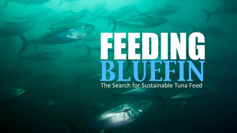 A short video show hows a feed breakthrough can help save wild tuna stocks.