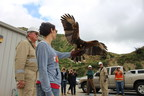 Harris hawks demonstration at Aera Energy Ventura location.