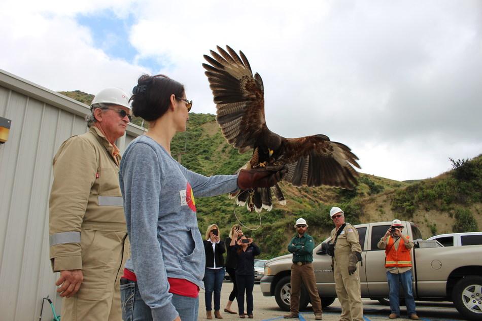 Harris hawks demonstration at Aera Energy Ventura location.