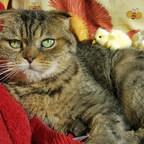 Âgée de 21 ans, soit l'équivalent de 105 ans humain, Hortense a été officiellement déclarée le plus vieux chat du Québec en 2017 par l'Association des médecins vétérinaires du Québec. (Groupe CNW/Association des médecins vétérinaires du Québec)