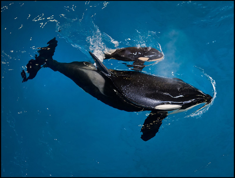 San Antonio, TX (April 19, 2017) – Under the watchful eyes of the SeaWorld zoological team, SeaWorld San Antonio welcomed an orca calf on Wednesday afternoon, the last to be born at a SeaWorld park.  After an 18-month gestation, the calf is estimated to weigh between 300 – 350 pounds and measure between 6 and 7 feet.  Trainers and veterinarians will monitor the pair around the clock to observe signs of bonding and nursing.