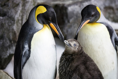 Same-sex penguin couple Thelma and Louise celebrate World Penguin Day at Sea Life Kelly Tarlton's in New Zealand.