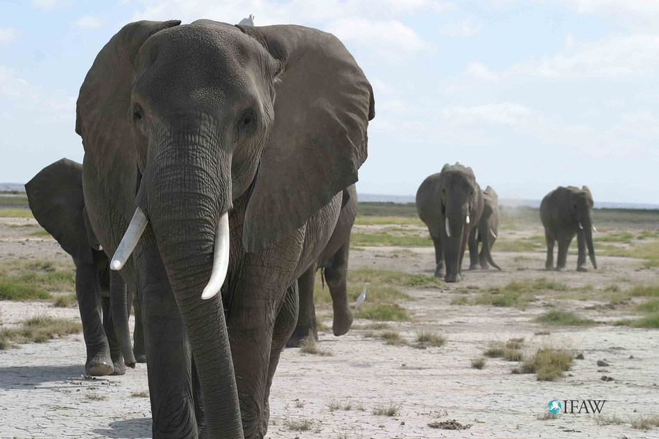 Africa's Protected Areas Have Just A Quarter Of The Elephants They Should (c) IFAW-ATE