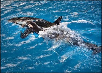 San Antonio, TX (19 de abril de 2017) - En la tarde del miércoles SeaWorld San Antonio dio la bienvenida a un ballenato de orca, el último que nacerá en un parque SeaWorld. Mamá Takara guía al recién nacido hasta la superficie del agua y el ballenato hace una de sus primeras aspiraciones de aire.