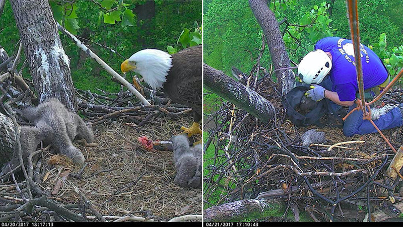 """In Washington DC, the leg of 23-day-old Bald Eaglet """"DC4"""" became lodged in the stick-rails of its nest, resulting in a human-coordinated rescue. The entire process of freeing the eaglet's lodged/stuck leg, getting it checked out/radiographed, and then returning it to the nest took less than 24 hours. This eaglet and it's family can be watched LIVE, 24/7, and in high-definition on dceaglecam.org."""