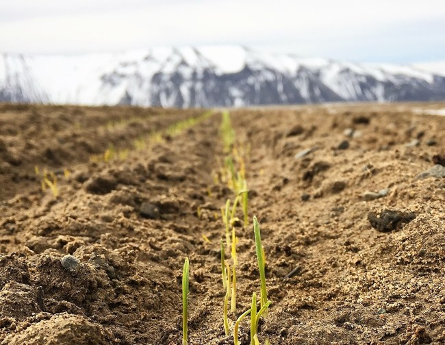 Organic wheat sprouting after planting at Cascade Organic Farms