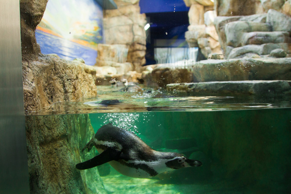 An Humboldt penguin took the plunge into his new exhibit at the Moody Gardens Aquarium Pyramid in Galveston, TX. This exhibit is one of many new experiences visitors will enjoy as the Grand Reveal of a $37 million comprehensive renovation is scheduled for Memorial Day Weekend.