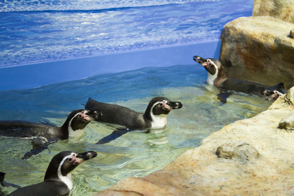 Humboldt penguins frolic in their new exhibit at the Moody Gardens Aquarium Pyramid in Galveston, TX. This exhibit is part of a $37 million comprehensive renovation scheduled to open Memorial Day Weekend.