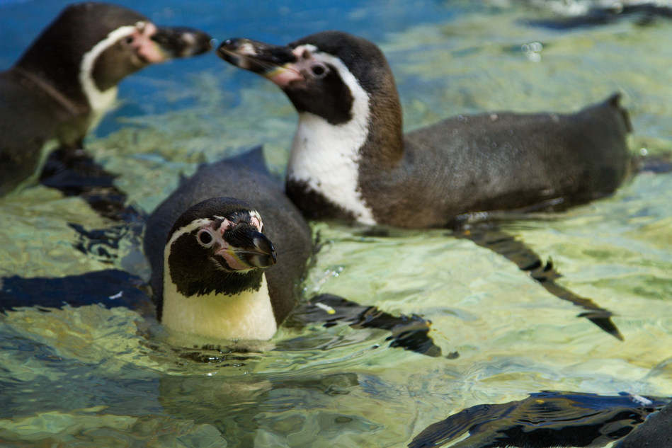 New Humboldt penguins settled into their new exhibit at Moody Gardens Aquarium Pyramid Thursday in Galveston, Texas. Visitors can see them and much more as the $37 million comprehensive renovation Grand Reveal is scheduled for May 27.