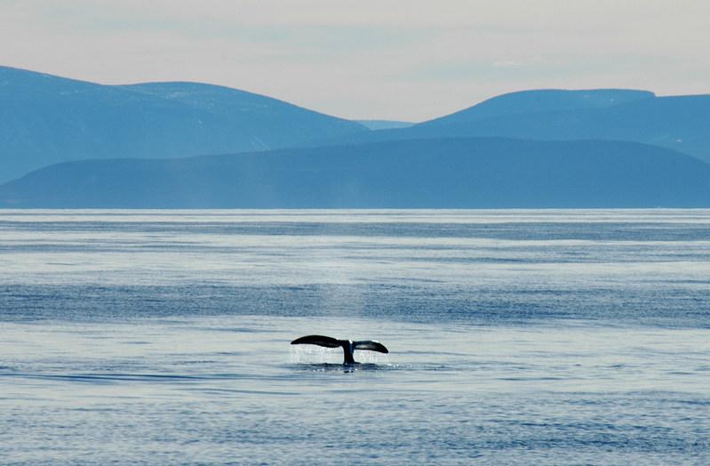 © Tim Stewart / WWF-Canada Bowhead whale (Balaena mysticetus) flukes in Isabella Bay, Nunavut, Canada. (CNW Group/WWF-Canada)