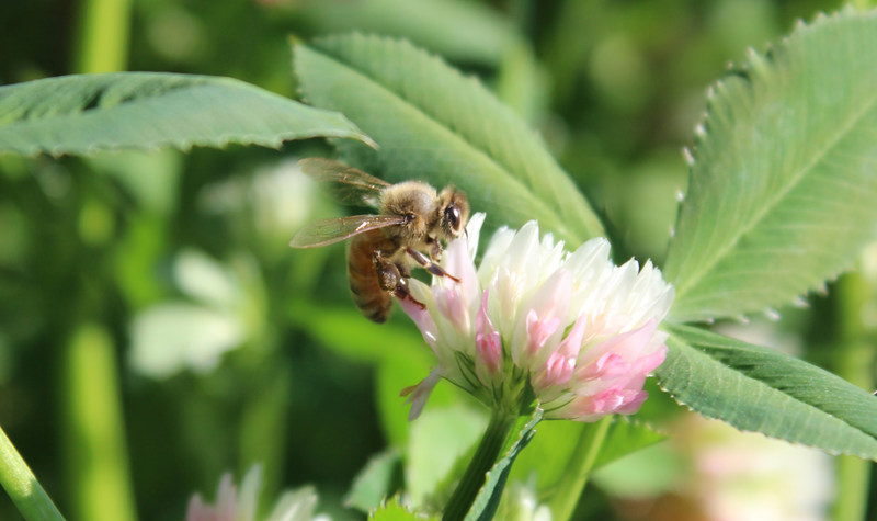 Beneficial bee pollinating FIXatioN Balansa Clover, one of the components of Pastures for Pollinators