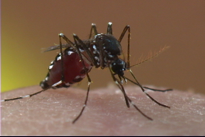The Asian tiger mosquito can spread the Zika virus and is common in the southern United States. Unlike other species, the Asian tiger is active throughout the day, not just at dusk and dawn.