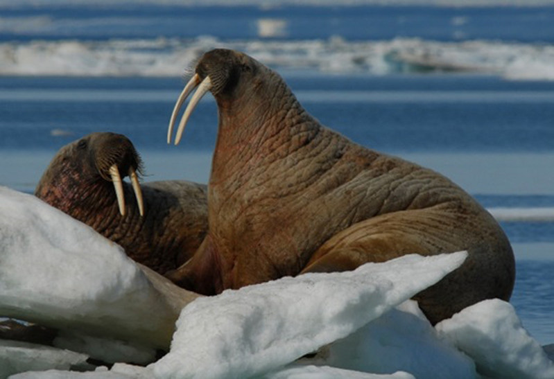 Atlantic Walrus © J. Higdon (CNW Group/Committee on the Status of Endangered Wildlife in Canada)
