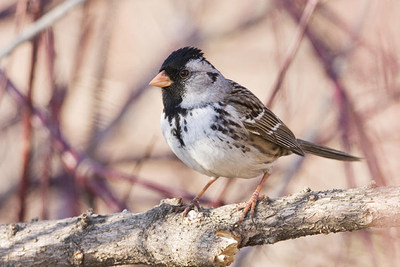 Harris's Sparrow © G. Romanchuk (CNW Group/Committee on the Status of Endangered Wildlife in Canada)
