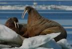 Morse de l'Atlantique © J. Higdon (Groupe CNW/Comité sur la situation des espèces en péril au Canada)