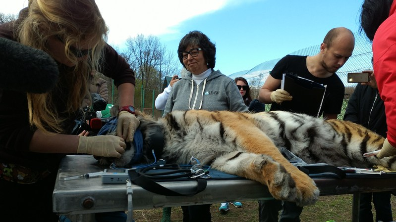 Amur tiger Filippa is given a health check before her release back to the wild in Russia. ©IFAW