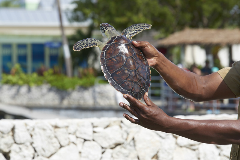 World Animal Protection is urging Carnival Cruise Line ships to stop promoting and taking tourists to the Cayman Turtle Centre (CTC) tourist attraction. The CTC keeps turtles in unacceptable conditions and allows tourists to handle them. It is the only facility in the world that still breeds sea turtles for meat.