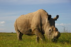 Prince William conservation organization supporting campaign for rhino on Tinder