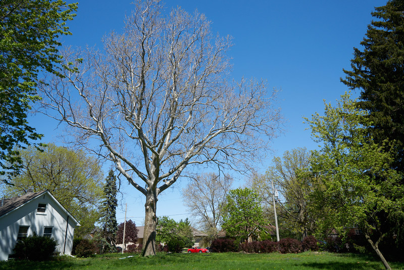 225 year old Sycamore tree in Windsor was recognized as a Forest Ontario Heritage Tree earlier today. (CNW Group/Forests Ontario)