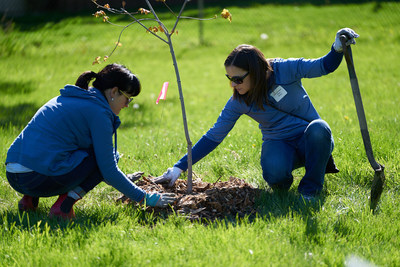 Volunteers from the accounting and finance teams at Hiram Walker & Sons were joined by their colleagues at Corby Spirit and Wine to plant 200 native trees in a section Windsor's Thompson Park. (CNW Group/Forests Ontario)