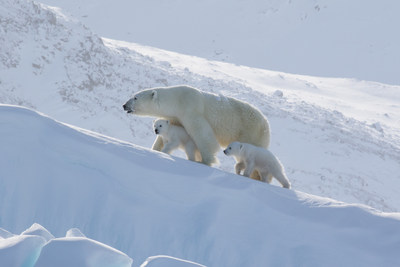 Seeing Polar bears in Arctic all year long just got easier (c) Arctic Kingdom. (CNW Group/Arctic Kingdom Polar Expeditions Inc.)