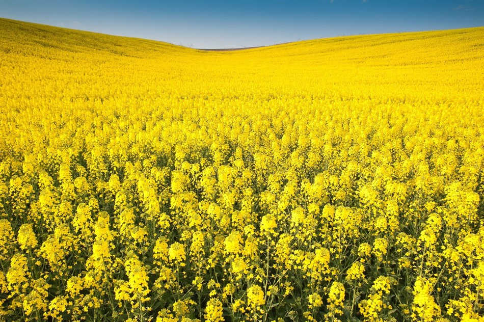 Partnership will accelerate the development of canola varieties with enhanced productivity and sustainability