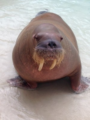 Marineland Mourns Sonja The Walrus (CNW Group/Marineland)