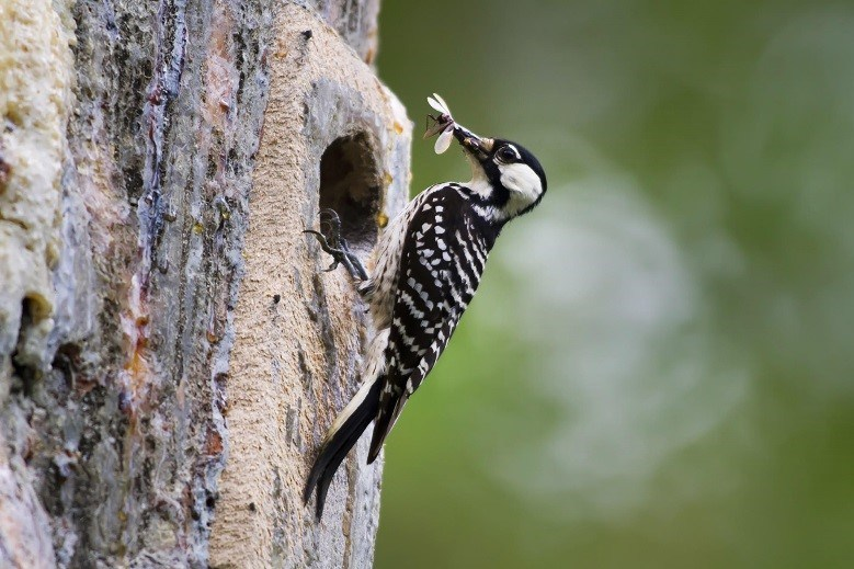 The Red-cockaded Woodpecker's habitat –longleaf pines in the Southeast—was once shaped by the region's frequent lightning fires. The species was listed as Endangered in 1970 after drastic decline of original habitat. Photo: USFWS