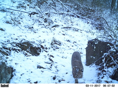 The New Jersey Natural Heritage Program noted that bobcat habitats could occur within the PennEast route area in Hunterdon and Mercer counties, and the presence of this state-endangered wild cat is now confirmed.