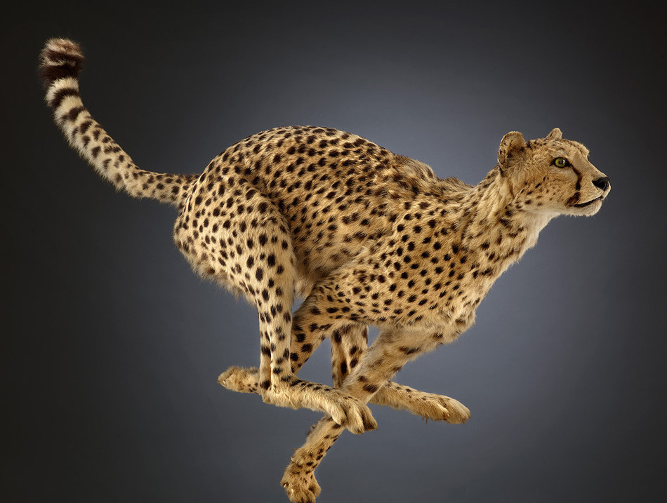 Cheetah Why is the cheetah the fastest land animal? The aerodynamic snout, the long, skinny tail for balance, claws that never retract provide extra traction, and a spine that curls under for extra reach. © The Field Museum, Z95153_32Bd