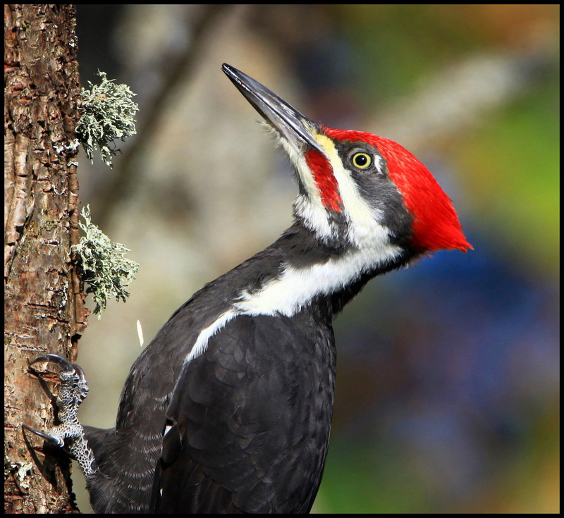 Pileated Woodpecker A Pileated Woodpecker can withstand a great magnitude of force when pecking. Exhibition visitors will learn why they don't suffer brain damage. © Nigel Tate