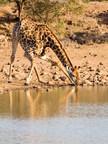 Jirafa. Los visitantes tendrán la oportunidad de ver algunas de las impresionantes adaptaciones evolutivas de este animal. Un corazón de grandes dimensiones y un complejo sistema circulatorio mantienen vivo a este mamífero. © Chris Burt / Shutterstock
