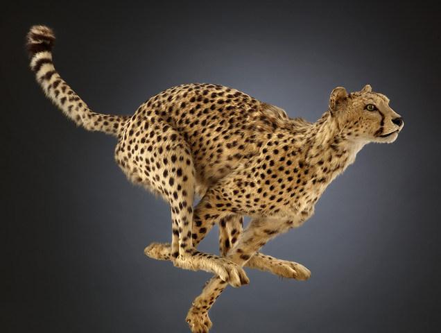 Guepardo. ¿Por qué el guepardo es el animal terrestre más rápido? Por el aerodinámico hocico, la larga y delgada cola que le permite mantener el equilibrio, las garras no retráctiles que proporcionan tracción adicional, y una espina dorsal que actúa como un resorte para aumentar el alcance. © The Field Museum, Z95153_32Bd