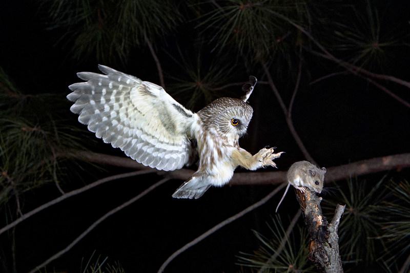 Lechuza norteña. Las fuertes garras y la sensible visión convierten a este depredador nocturno en una máquina de cazar. Pero sus oídos asimétricos son lo que le da una ventaja única en la oscuridad total. © Ron Austing | WildNaturePhotos