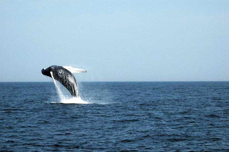 A humpback whale breaching. The underside of each humpback whale's tail has black and white markings in patterns that are as unique as human fingerprints. (CNW Group/World Animal Protection)