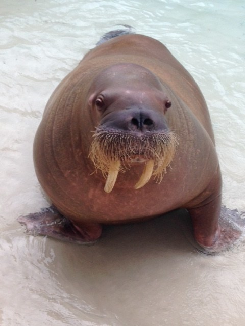 Sonja the Walrus (CNW Group/Marineland)