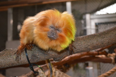 Ana, golden lion tamarin at the Akron Zoo