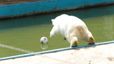 Nika the Bear, official animal psychic of Welcome2018 the tourism portal for the 2017 FIFA Confederation Cup and 2018 FIFA World Cup leaps into her pool to rescue her ball (PRNewsfoto/Welcome2018)