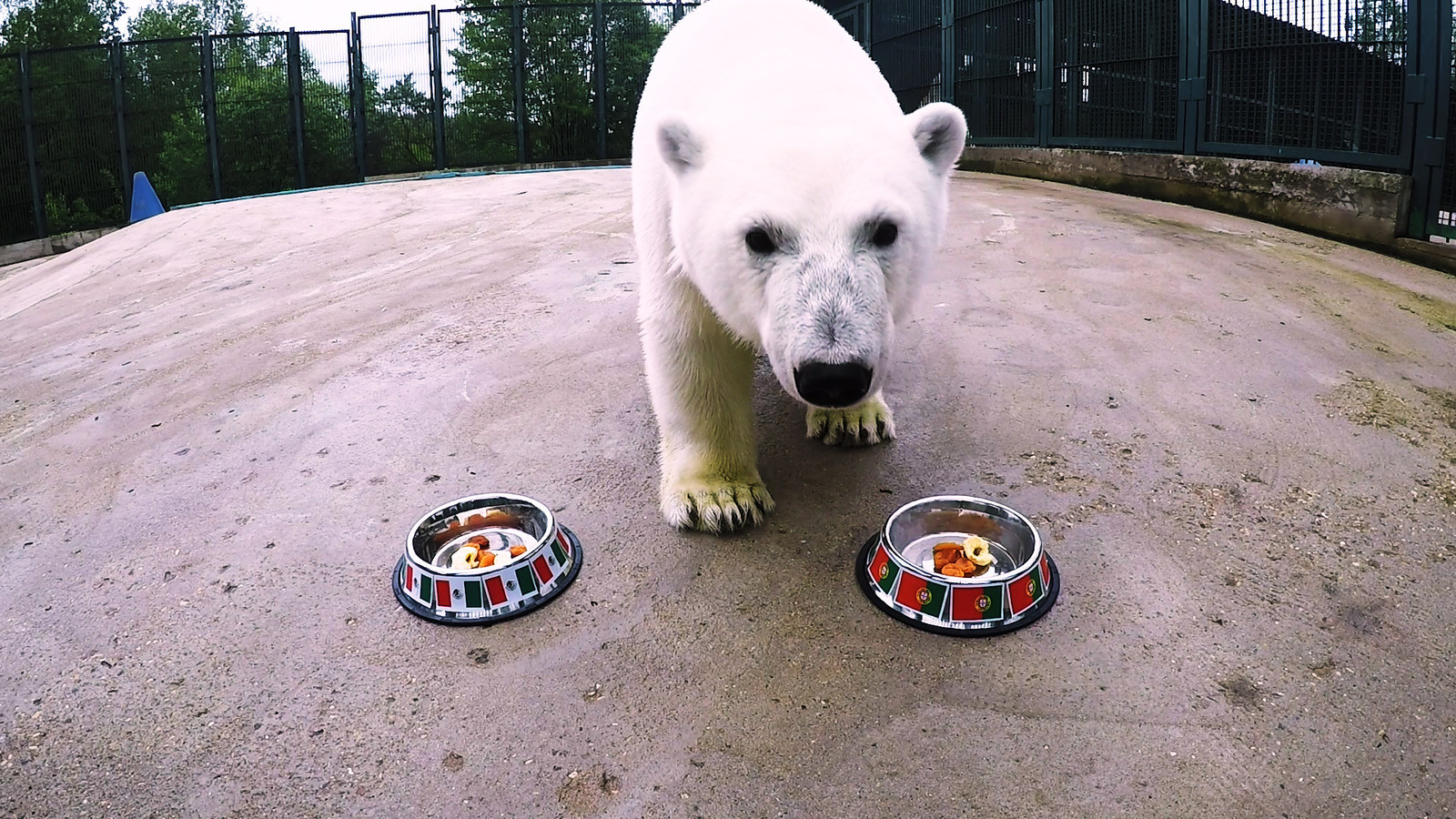 Nika the Football-Mad Polar Bear Predicts 2017 FIFA ...
