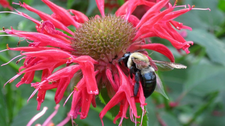 Ortho works to help gardeners increase pollinator habits in their own backyard during National Pollinator Week: June 19-25. A new survey commissioned by Ortho, the nation's leading brand of garden control products and the first national lawn and garden brand with a pledge to promote pollinator health, shows the majority of Americans (69 percent) recognize pollinator populations are in decline, but don't know what to do to help.