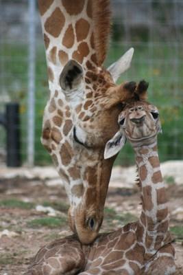 Newborn giraffe twin and mother, Natural Bridge Wildlife Ranch, New Braunfels, Texas. Photo copyrighted by Tiffany Soechting.