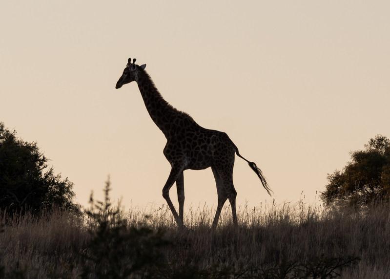 Cape Giraffe at sunset, Willem Pretorius Game Reserve, South Africa. Photo copyrighted by Ashley Scott Davison.