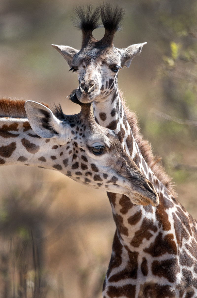 Young giraffe with adult in Tarangire National Park, Tanzania