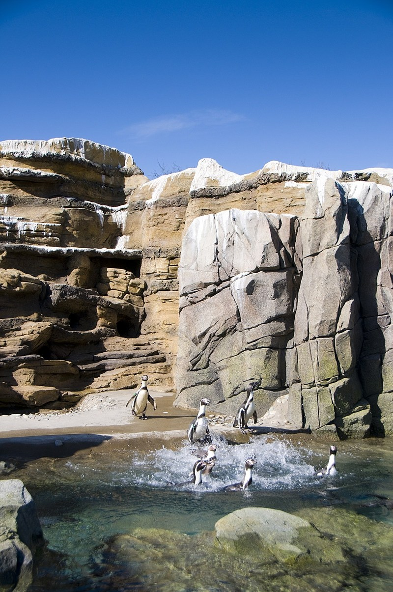 A DAY AT THE BEACH: Penguins frolic in the water at the American Humane Conservation-certified Woodland Park Zoo.
