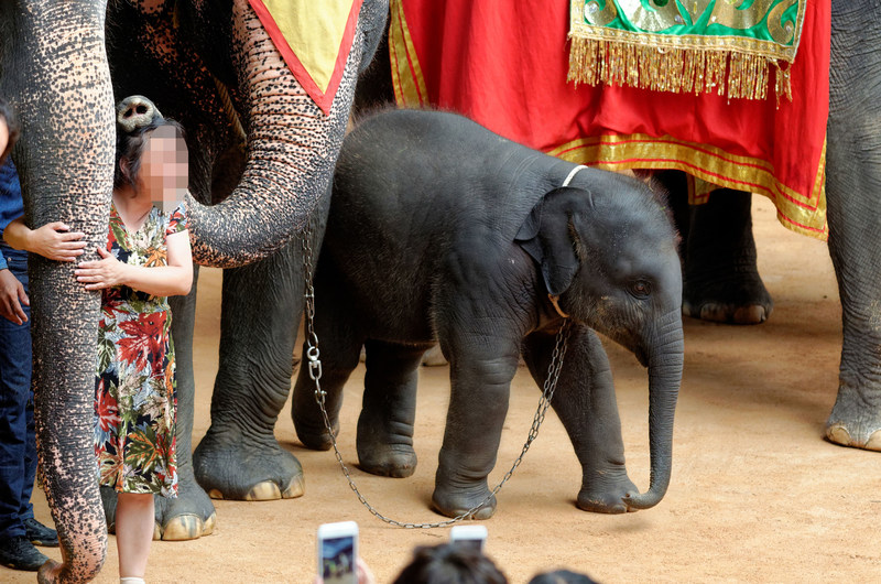Nong Nooch Garden, Thailand holds about 60 elephants. They are ridden, used for souvenir pictures and forced to entertain tourists by playing football, painting, riding tricycles, throwing darts and dancing. Copyright World Animal Protection (CNW Group/World Animal Protection)