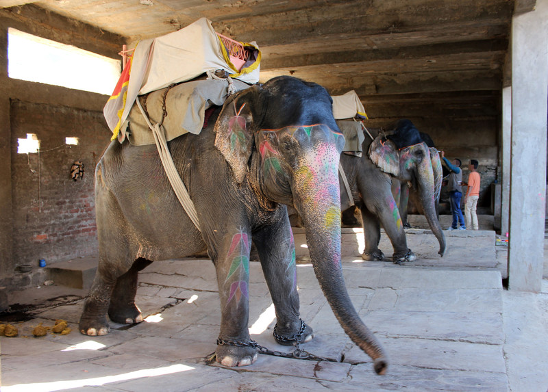 Behind the scenes at an elephant venue in India, which offers tourists rides. The elephants are kept in dark sheds and tied up on concrete flooring. World Animal Protection believes that wildlife should be left in the wild.