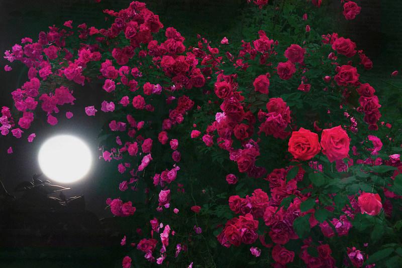 HIROMI ASAI Men's SS18 - Midsummer Night's Roses