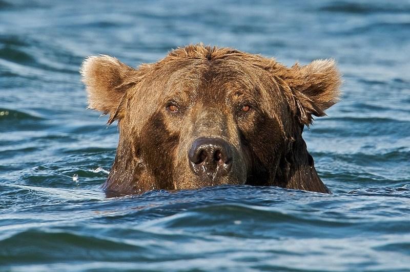 Bears - Katmai National Park, AK, USA (River Watch) - explore.org