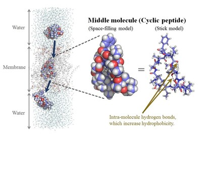 The membrane permeation process of a cyclic peptide. Supervised molecular dynamics (SuMD) accelerates molecular simulations and SuMD is useful tool for studying rare biological events such as membrane permeation.